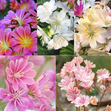 Lewisia collection