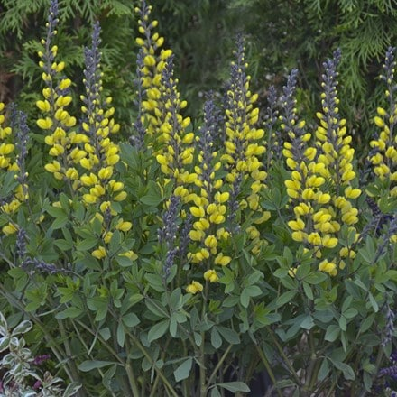 Baptisia Lemon Meringue