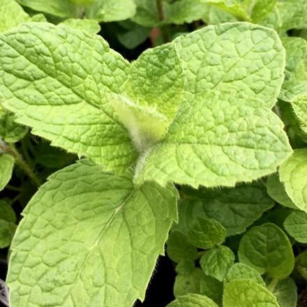 Mentha × villosa var. alopecuroides Bowles's mint
