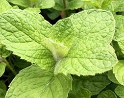 Bowles's mint / Mentha × villosa var. alopecuroides 'Bowles's mint'