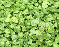 Corsican mint / Mentha requienii