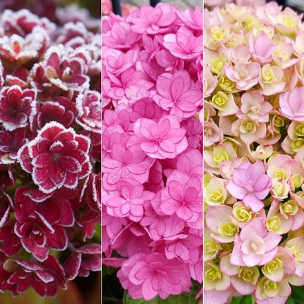 Hydrangea macrophylla You & Me Together  ('Youmefive') (PBR)