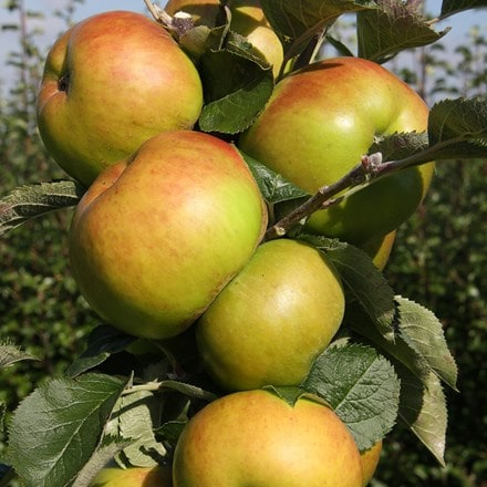 apple Bramley 20