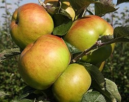 apple / Malus 'Bramley 20'