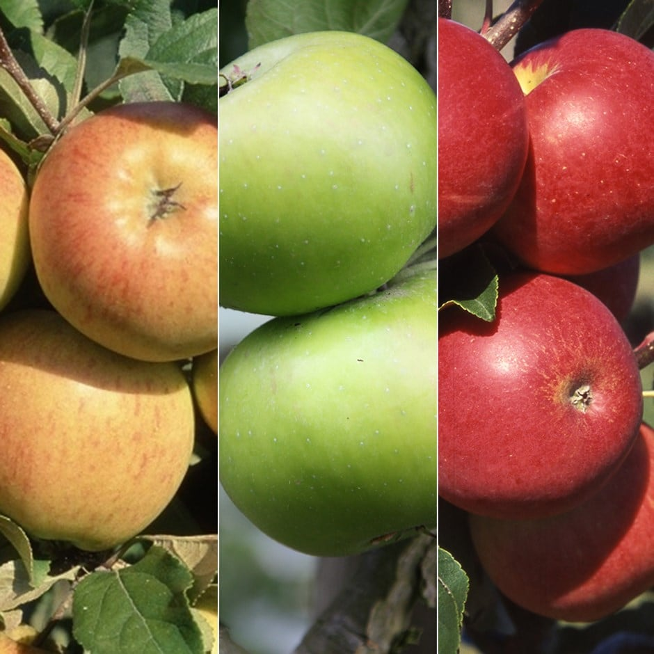 family apple Bramley 20 / Christmas Pippin / Scrumptious