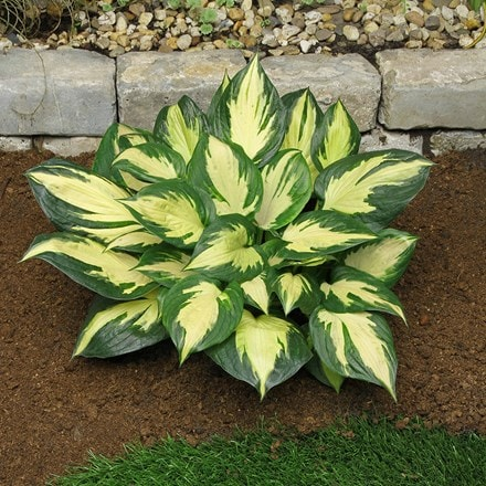 Hosta Morning Star