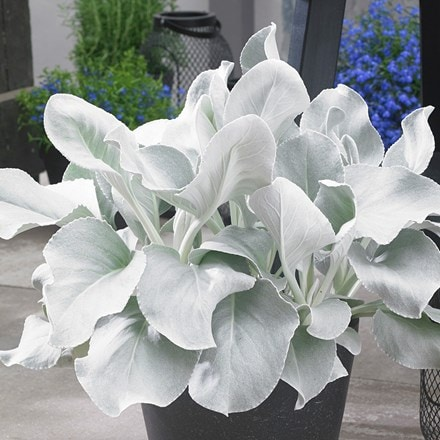 Senecio candidans Angel Wings ('Senaw') (PBR)