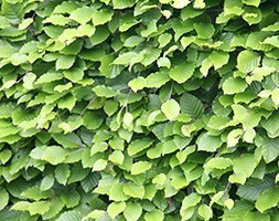 common beech - 60-80cm tall (2 years old bare root hedging)