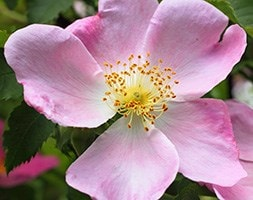 dog rose hedging (shrub)  - 40-60cm tall (2 years old bare root hedging)