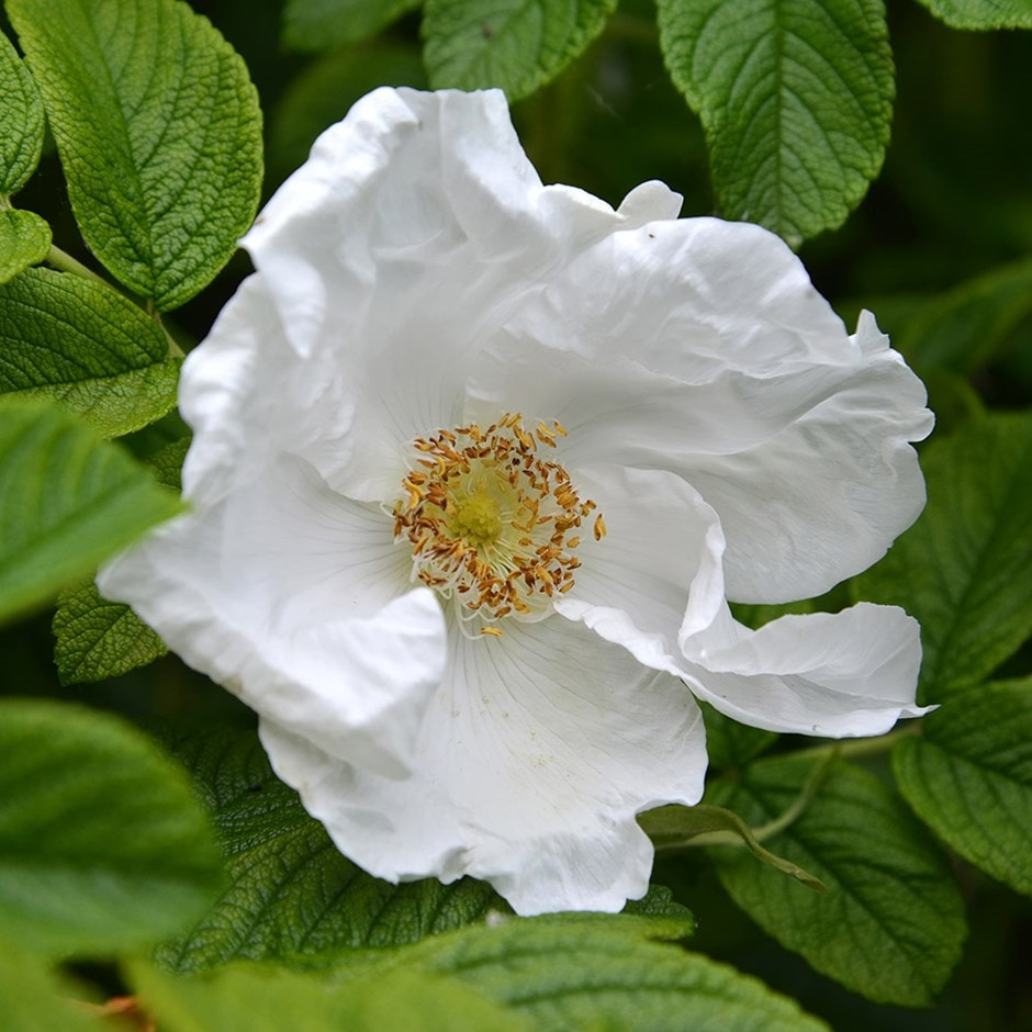 Buy White Japanese Rose Shrub 40 60cm Tall 2 Years Old Bare