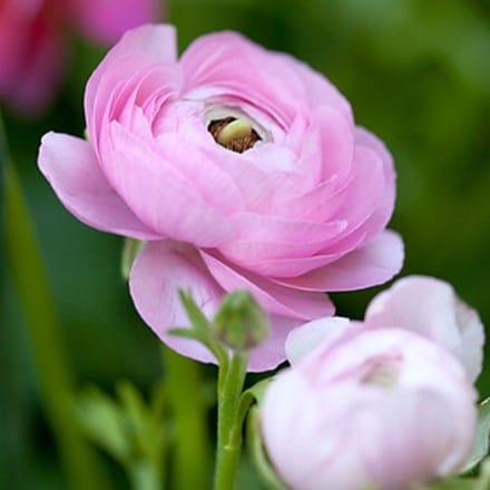Ranunculus asiaticus Aviv Rose
