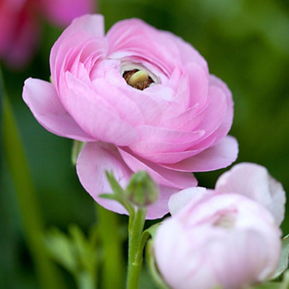 ranunculus bulbs  - (syn Aviv Pink )
