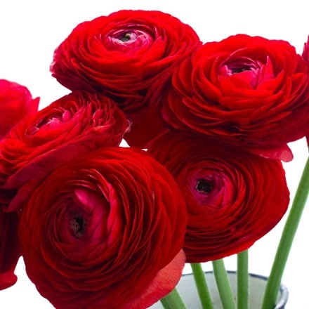 Ranunculus asiaticus Aviv Red