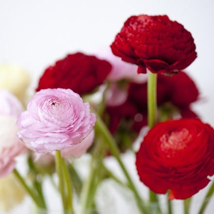 Ranunculus Aviv collection