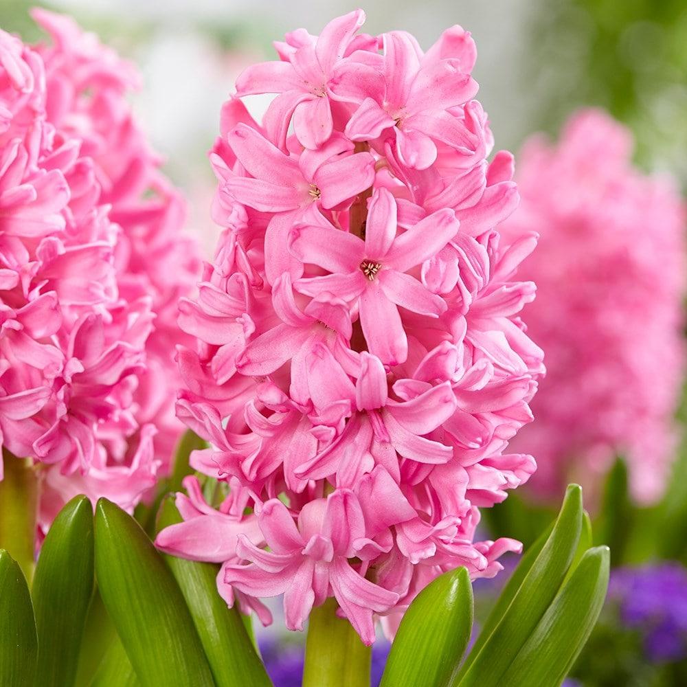 Buy 3 Hyacinthus Vases 3 Bulbs 3 Hyacinth Vases 3 Pink Flowering Hyacinth Bulbs 10 97 Delivery By Crocus