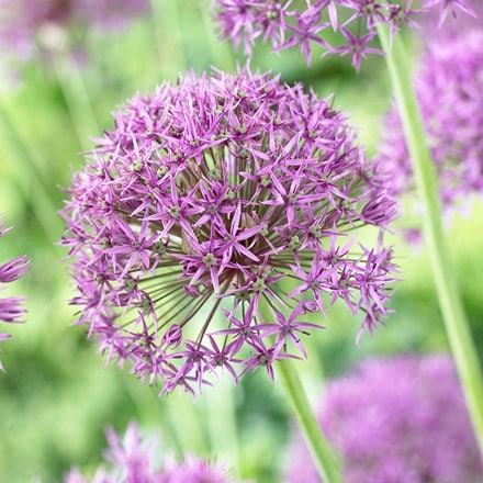 Allium stipitatum Violet Beauty
