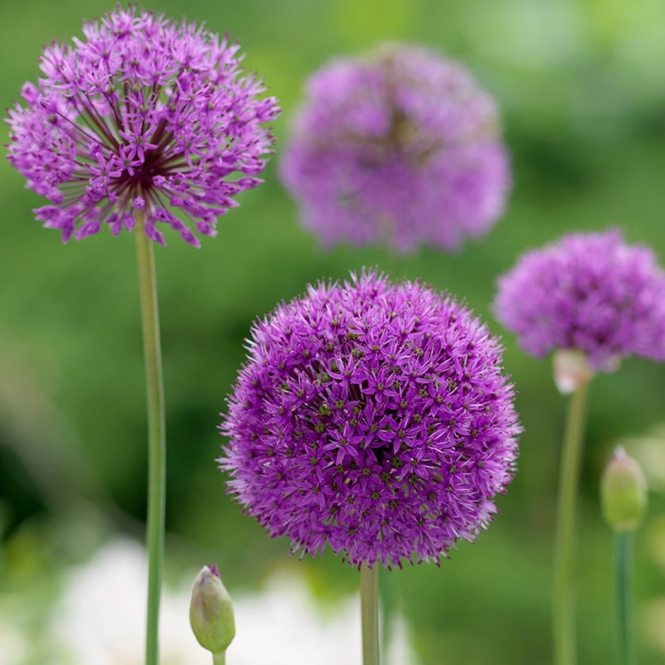 allium bulbs ( syn. Allium aflatunense )
