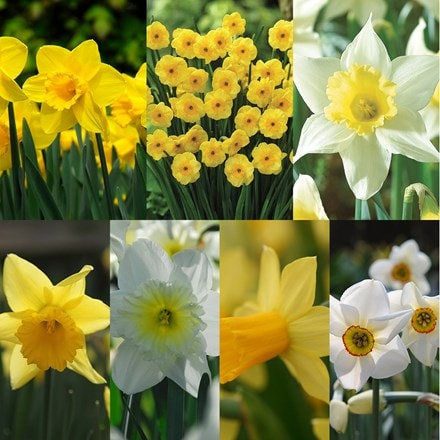 Narcissus - up to 6 months of daffodils