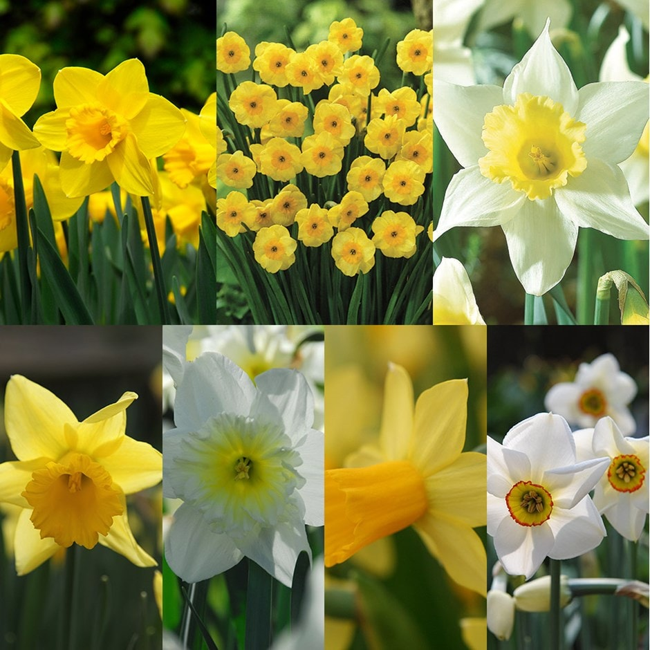 Up to 6 months of daffodils - 140+70 Free bulbs