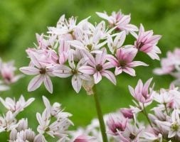 ornamental onion bulbs ( Allium Cameleon )