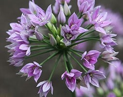 ornamental onion bulbs
