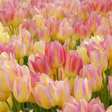 Tulipa Antoinette (PBR)