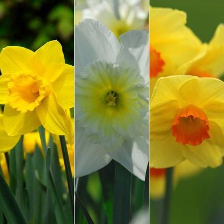 Tall and elegant daffodils