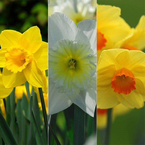 Tall and elegant daffodils