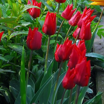 Tulipa Ile de France
