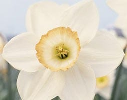 Narcissus High Society BS015