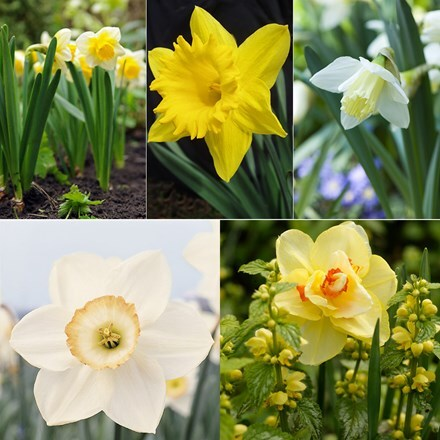 Award winning old favourite daffodil collection