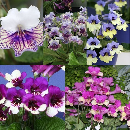 Streptocarpus Harlequin collection