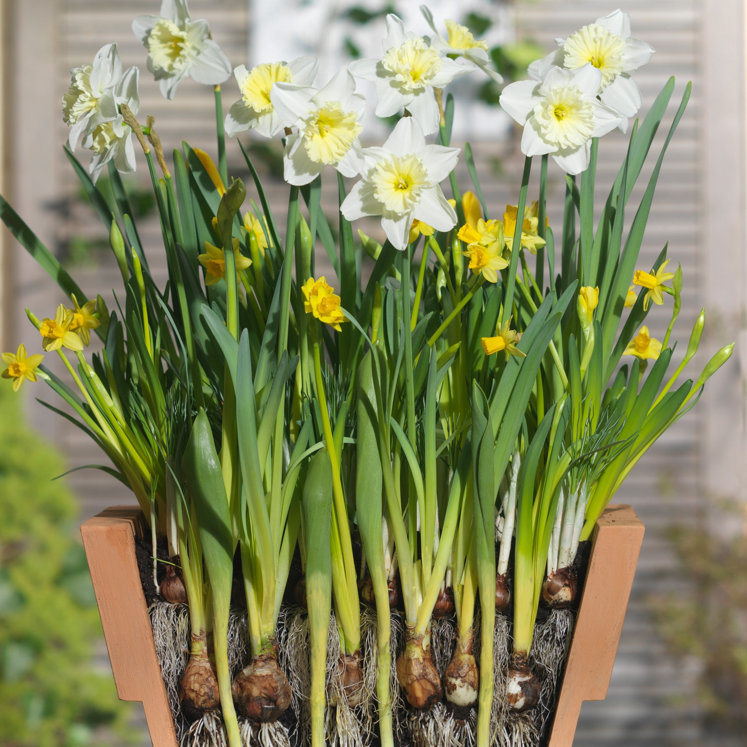 Buy bulb lasagne collection for pots bulbs for pots - 'cream.