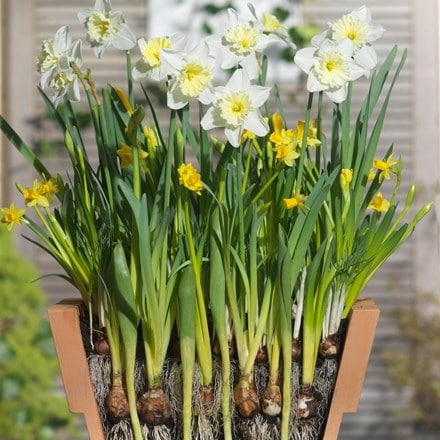 Bulbs for pots - Creams and yellows