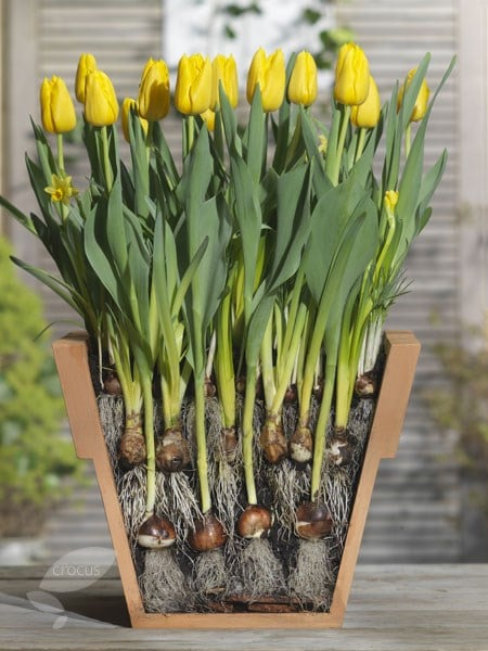 Buy bulb lasagne collection for pots Bulbs for pots - Creams and ...