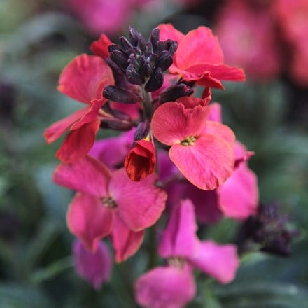 Erysimum Winter Orchid