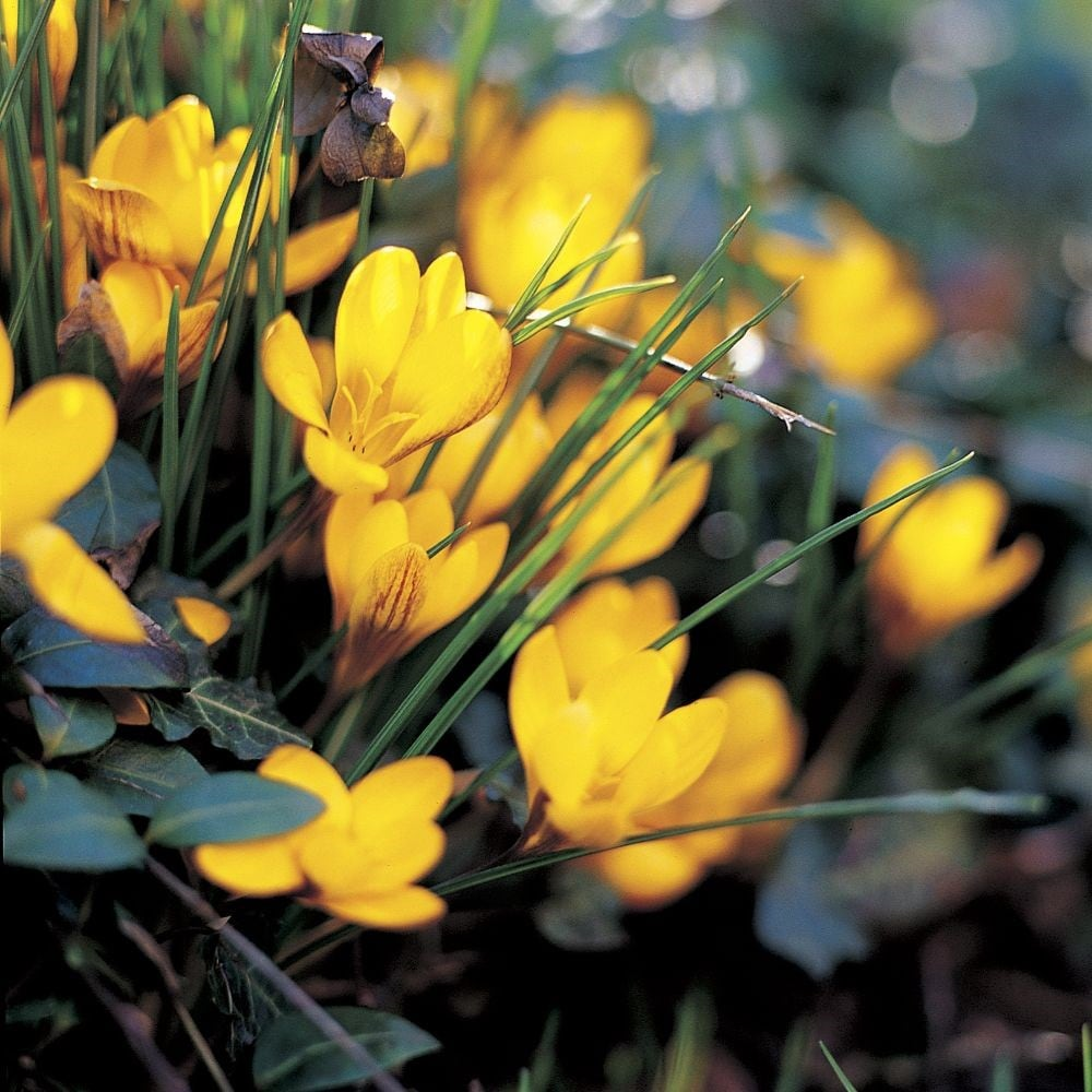 Buy Crocus Collection Spring Flowering Crocus Collection