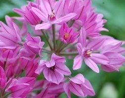 mountain lover / pink lily leek (syn. Allium Ostrowskianum )
