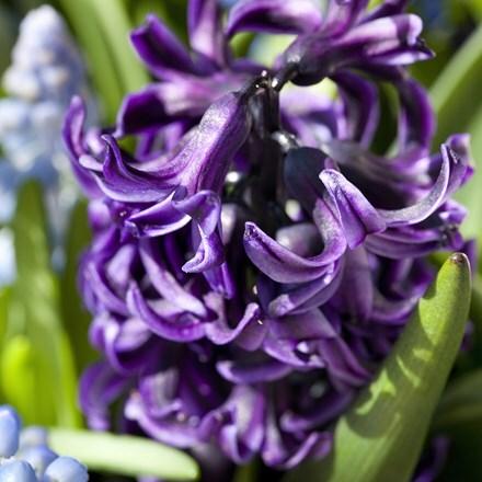 Hyacinthus orientalis Peter Stuyvesant