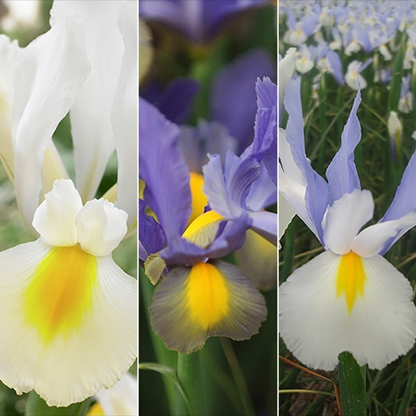 Beauty Iris collection