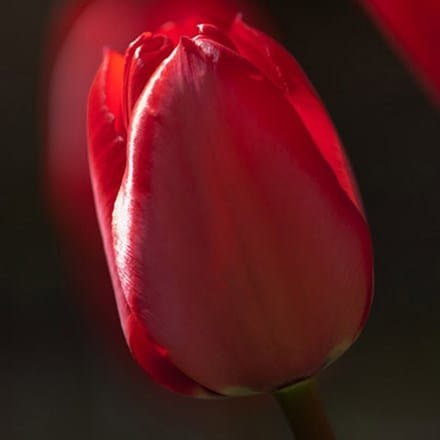 Tulipa Red Impression (PBR)