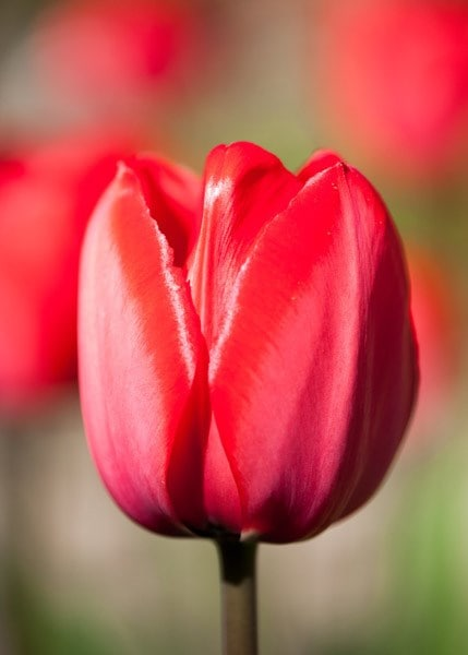Buy Darwin Hybrid Tulip Bulbs Tulipa Red Impression  Pbr    U00a33 99 Delivery By Crocus