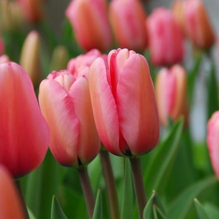 Tulipa Pink Impression