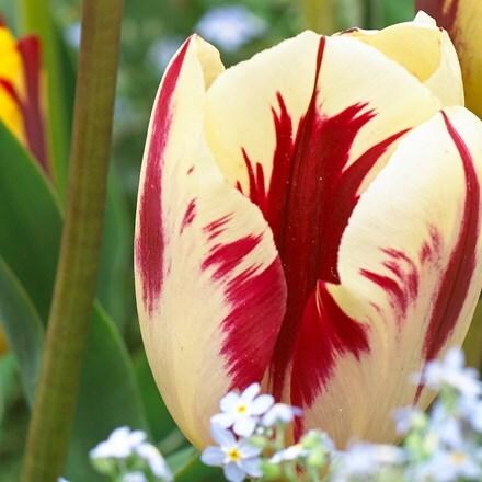 Tulipa Grand Perfection (PBR)