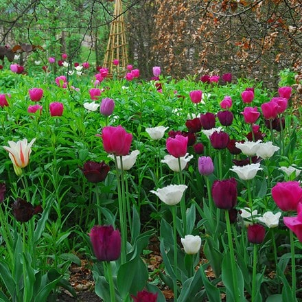 Raspberry ripple tulip collection