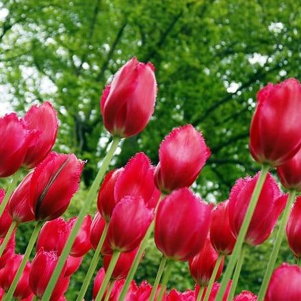 Tulipa Burgundy Lace