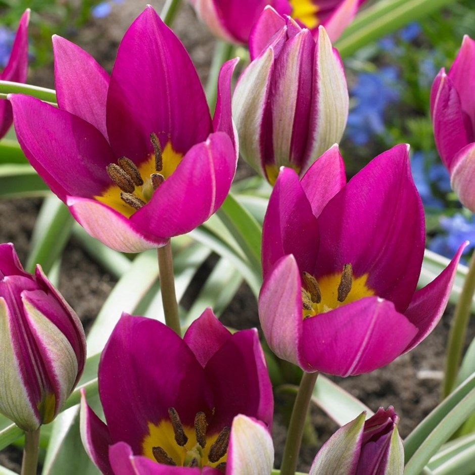 miscellaneous group tulip bulbs