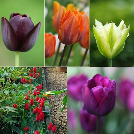 Old favourites tulip collection