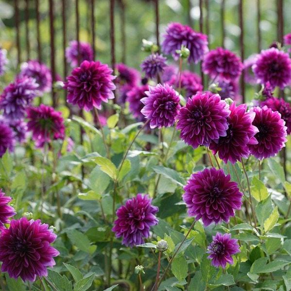 buy decorative dahlia tuber dahlia thomas a edison 3 99 delivery