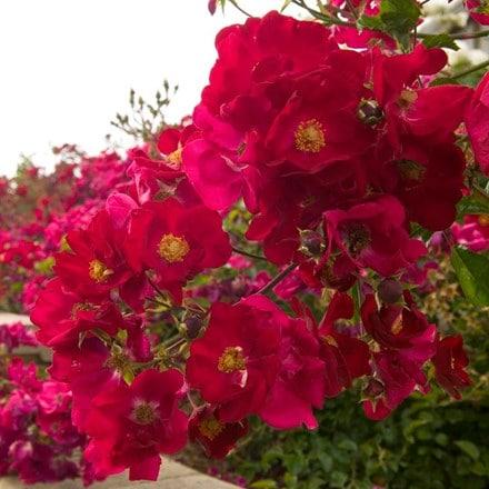 Rosa Flower Carpet Red Velvet ('Noare') (PBR)
